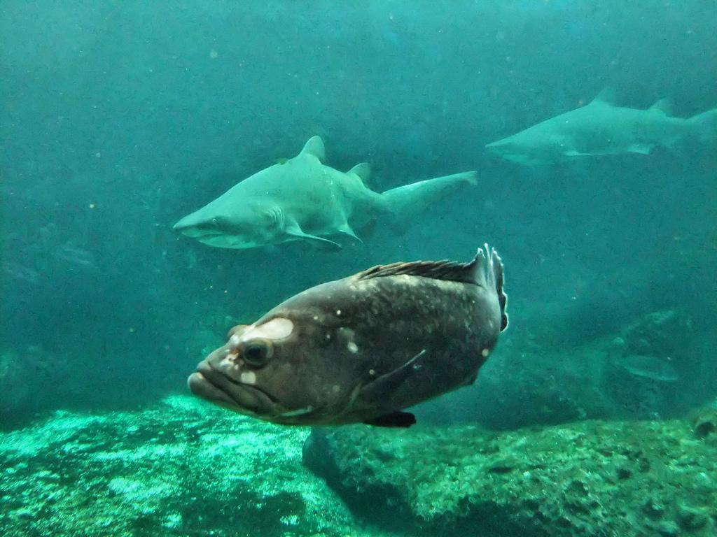 Destin adventures sea oats motel shark fishing for Destin shark fishing