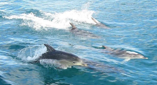 Dolphins in Destin, FL